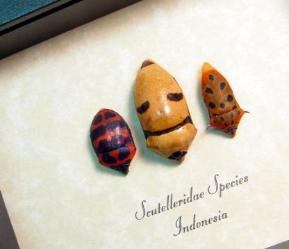 Scutelleridae sp Man Face trio Smiling Coneheads man Face Beetle Set