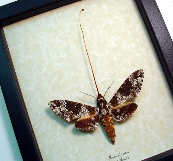 Manduca rustica Rustic Sphinx Moth