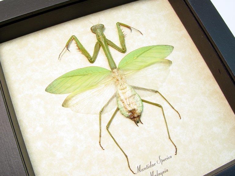 Praying Mantis Large Green Mantidae Framed Insect
