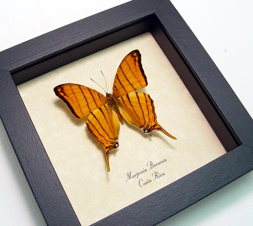 Marpesia berania Orange Tiger
