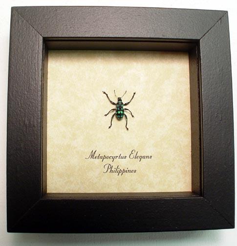 Metapocyrtus elegans Weevil Beetle