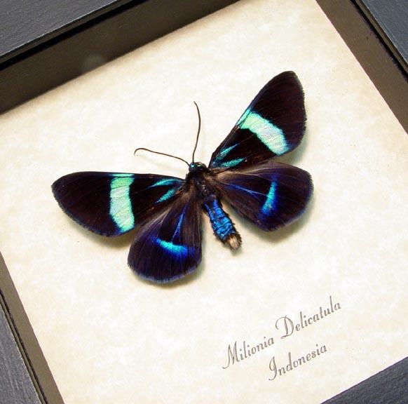 Milionia delicatula Blue Moth Day Flying Moth