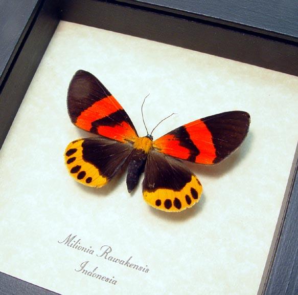 Milionia rawakensis Day Flying Moth
