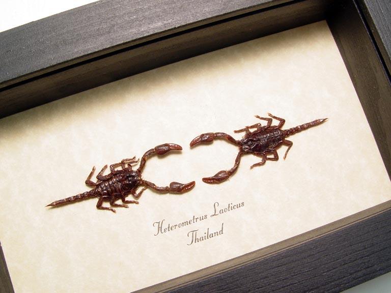Heterometrus laoticus set Mini Dueling Scorpions