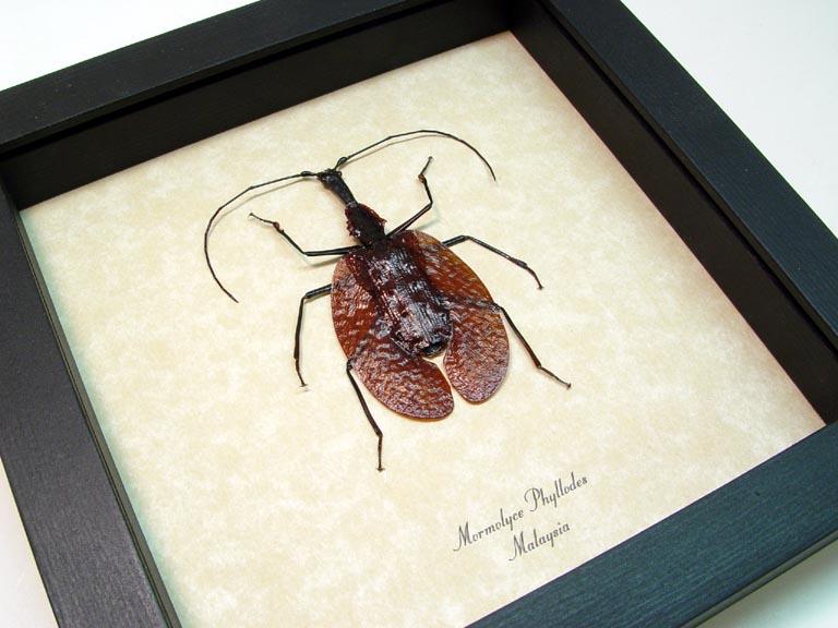 Mormolyce phyllodes Banjo Beetle