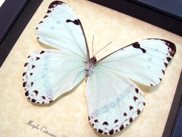 Morpho catenarius Mint Morpho Framed Blue Butterfly