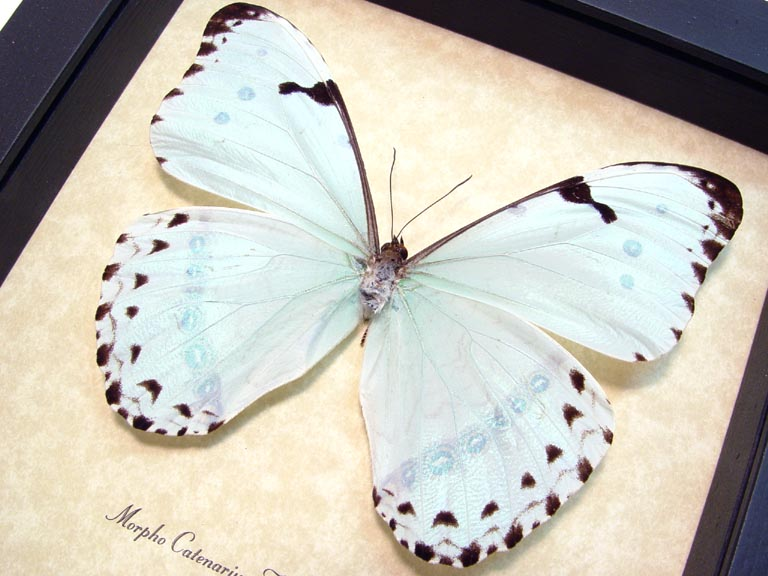 Morpho catenarius Mint Morpho Framed Blue Butterfly