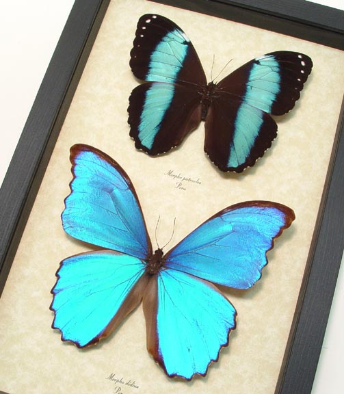 Morpho Butterfly Collection Blue Butterflies