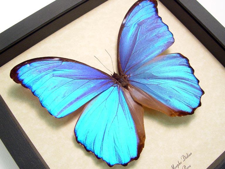 Morpho didius Giant Blue Morpho