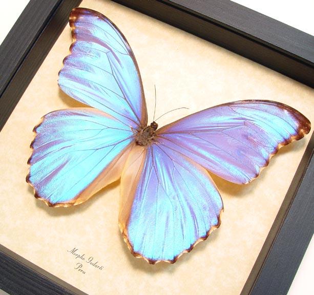 Morpho godarti Light Purple Butterfly