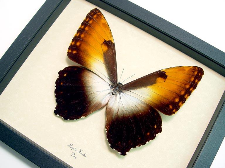 Morpho Hecuba obidona Sunset Morpho Framed Butterfly