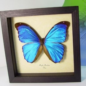 Morpho menelaus Metallic Blue Morpho Real Framed Butterfly