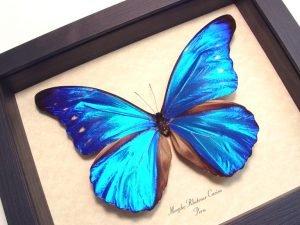 Morpho rhetenor cacica Blue Morpho Butterfly