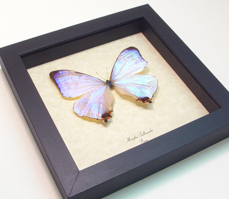 Morpho sulkowski - Butterfly Designs - Real Framed Butterflies