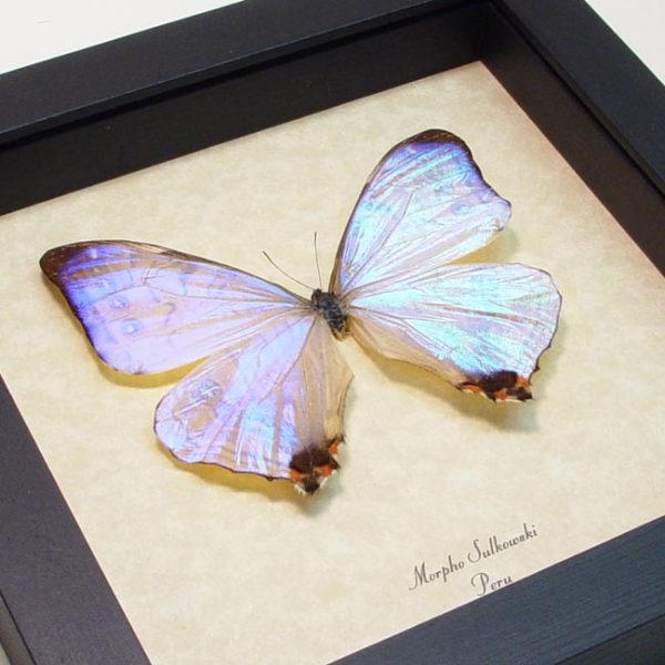 Mother's Day Butterfly Framed Morpho sulkowski Mother Of Pearl Shimmery Butterfly