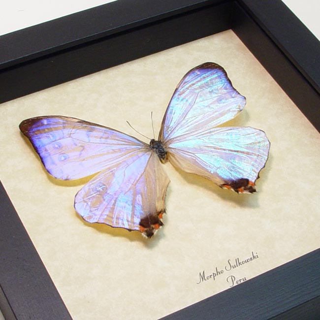 Mother's Day Butterfly Framed Morpho sulkowski Mother Of Pearl Shimmery Butterfly