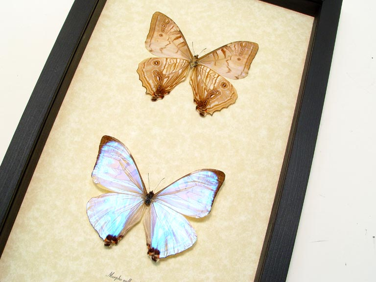 Morpho sulkowski set Shimmery Purple Mother Of Pearl Morpho Real ...