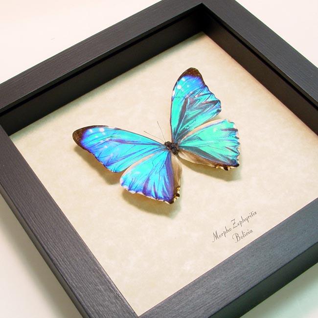 Morpho zephyritis Blue Morpho Framed Butterfly