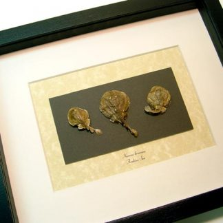 Narcine brunnea Collection Set of 3 The Brown numbfish , Brown Electric Ray Arabian Sea Real Framed