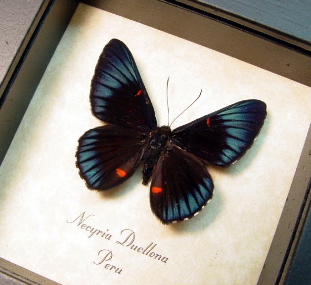 Necyria Duellona Metallic Blue