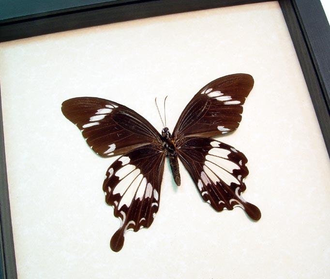 Papilio nephelus Yellow Helen Butterfly