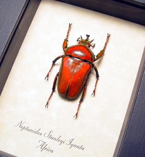 Neptunides stanleyi ignata Orange Beetle