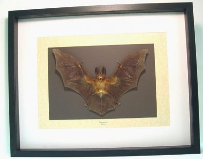 Nycteris javanica Javan slit-faced bat Rabbit Eared Bat Real Framed Bat Display