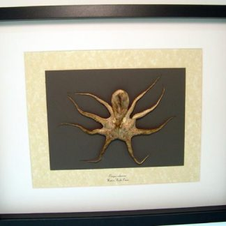 Octopus rubescens, Pacific Red Octopus Most Intelligent of All Marine Invertebrates Real Framed