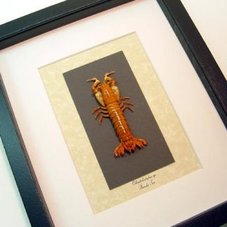Odontodactylus Sp. Mantis Shrimp Crustaceans Sea Locusts Thumb Spliters Real Framed