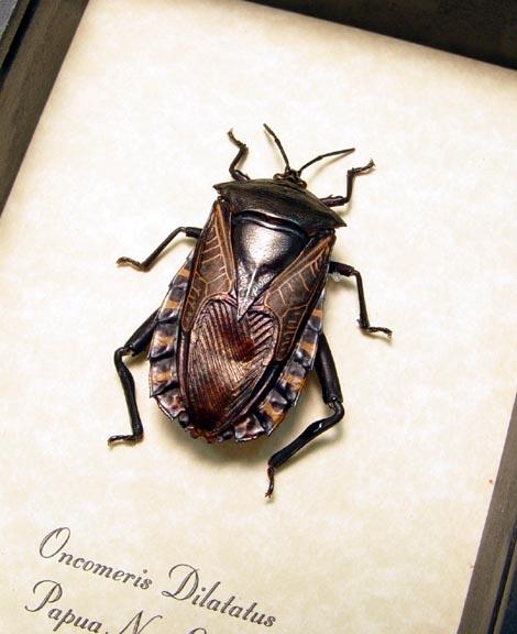 Oncomeris dilatatus Black Heart Beetle