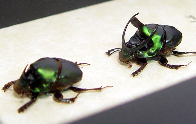 Onthophagus mouhoti Pair Strange Horns Wishbone Beetles