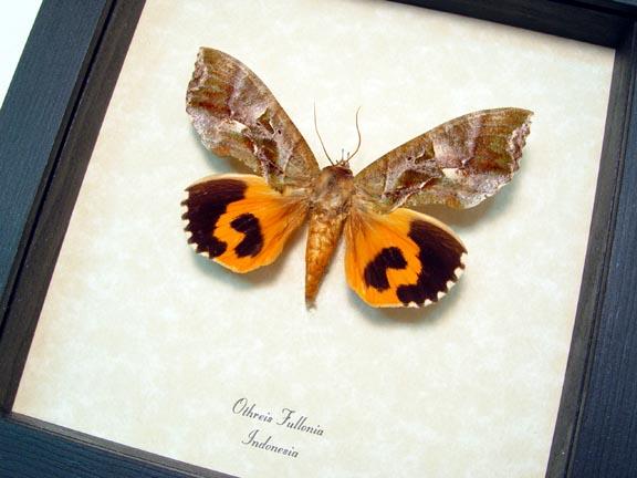 Othreis fullonia Fruit Piercing Moth