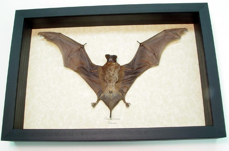 Flying Bat Otomops formosus