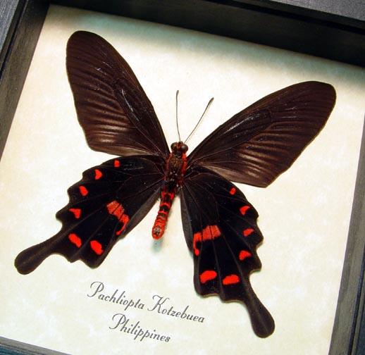 Pachliopta kotzebuea Black Swallowtail