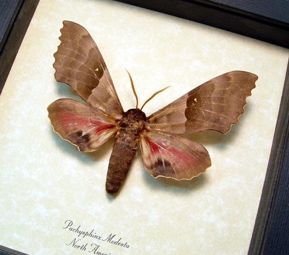 Pachysphinx modesta Poplar Sphinx