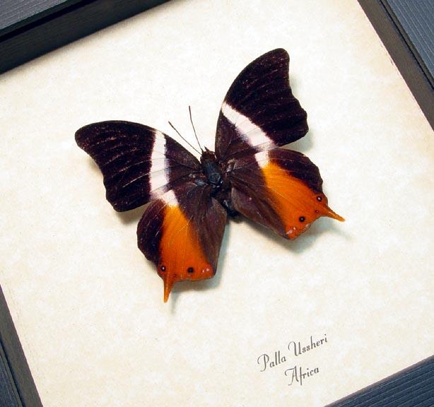 Palla ussheri African Swallowtail Butterfly