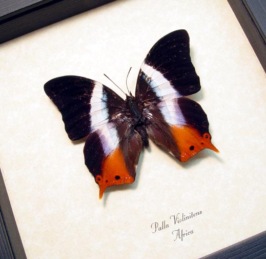 Palla violintins African Violet Butterfly