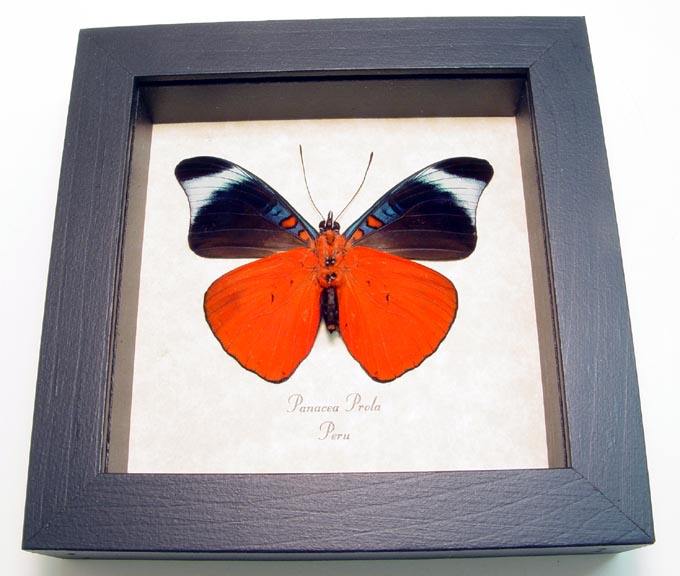 Panacea prola Verso Red Flasher Butterfly