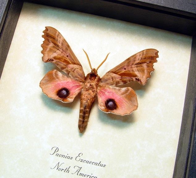 Paonias excaecatus Blinded Sphinx Moth