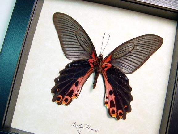 Papilio alcmenor Verso Redbreast Butterfly