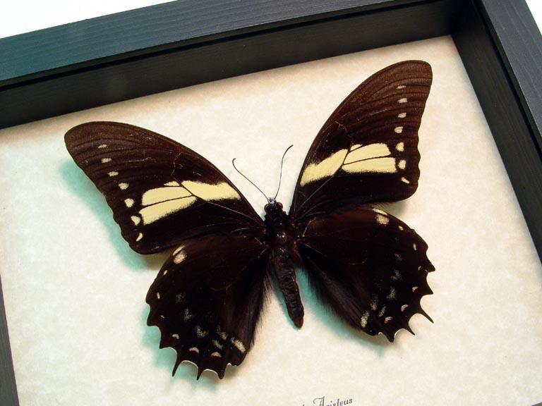 Papilio aristeus Large Brazilian Butterfly