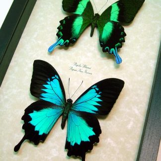 Papilio Blumei ulysses Set Real Framed Butterflies Blue Green Peacock Swallowtail