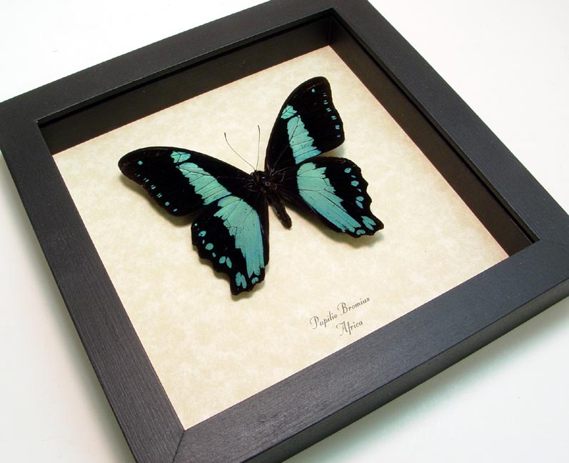 Papilio bromius Banded Swallowtail