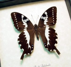 Papilio delalandei African Swallowtail Framed Butterfly