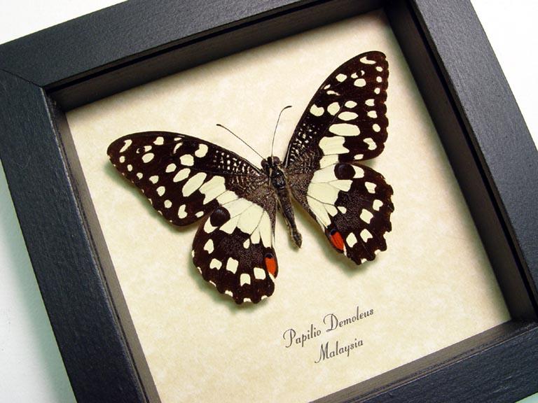 Papilio demoleus Lime Checkerboard