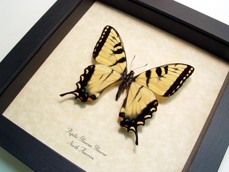 Papilio Glaucus Tiger Swallowtail