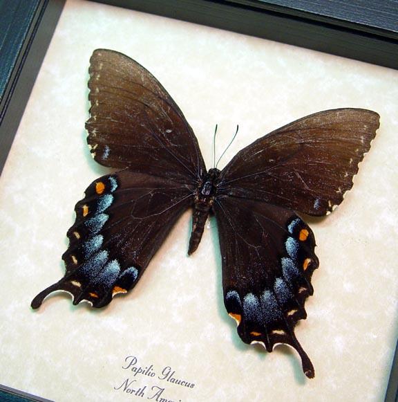 Papilio Glaucus Female Dark Form
