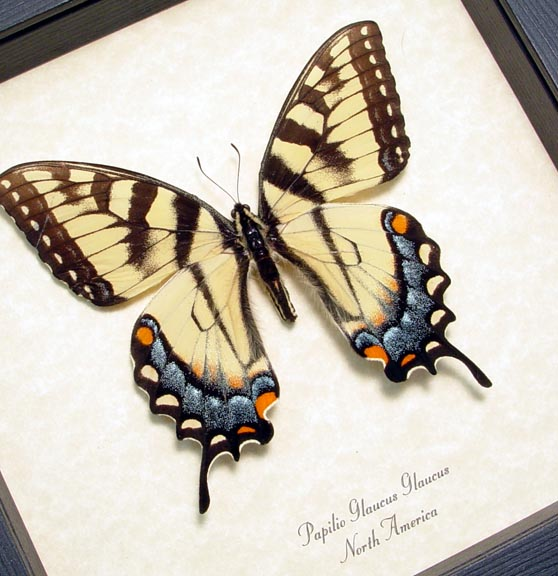 north american swallowtail butterfly papilio-glaucus-female real framed by butterfly-designs