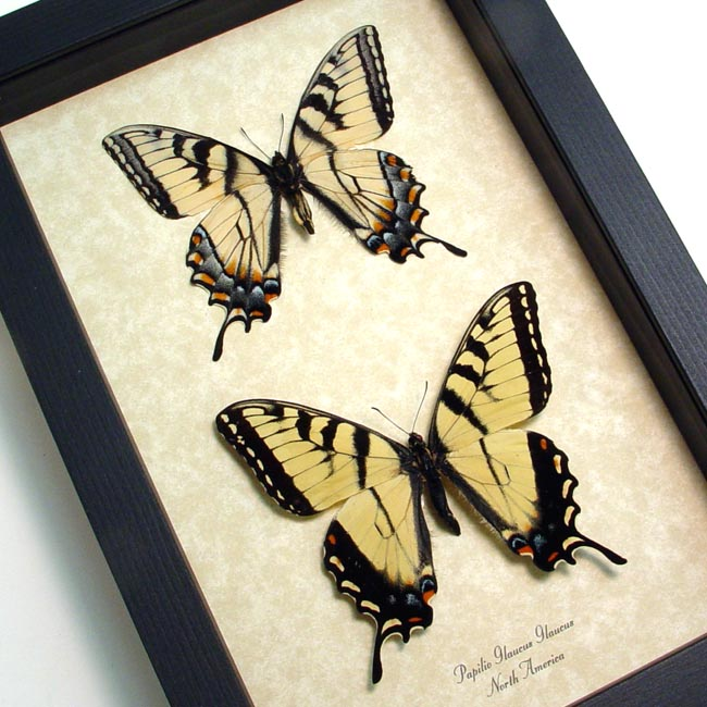 Papilio glaucus pair Tiger Swallowtails