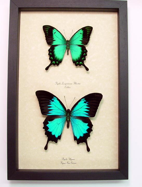Papilio Ulysses Lorquinianus Set Blue Mountain Swallowtail Butterfly Set